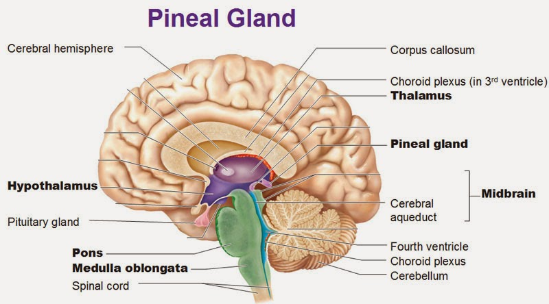 Hypothalamus    Med-koM